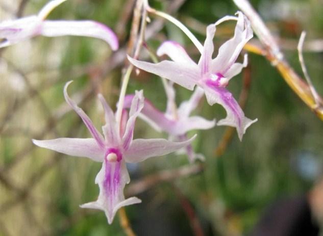 Dendrobium Rantii Anggrek Dari Sulawesi