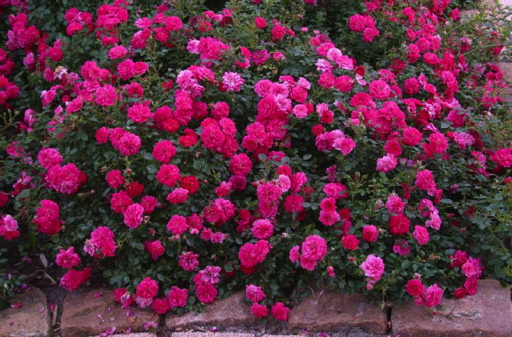 Roses In Garden: Anisti Ibuno Flowers : Ground Cover Roses