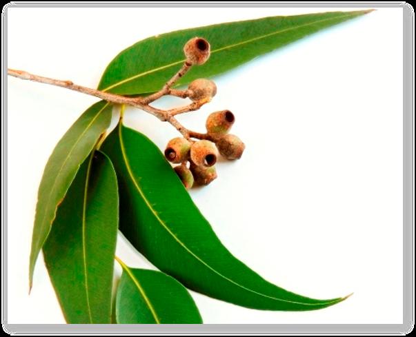 utilizarea uleiului de eucalipt în tratamentul articulațiilor