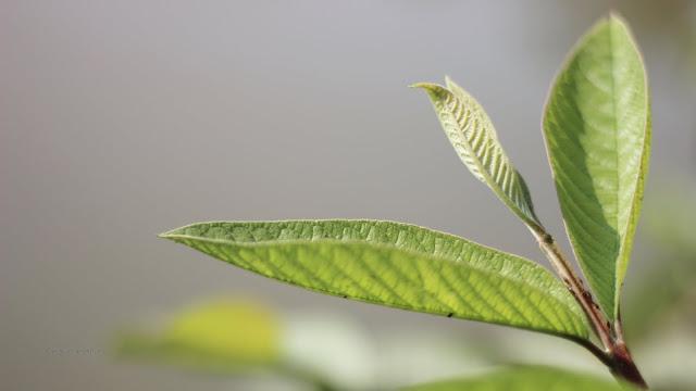 manfaat daun jambu biji untuk trombosit