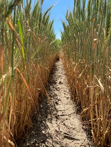 Harvesting drought-stressed small grains as forage
