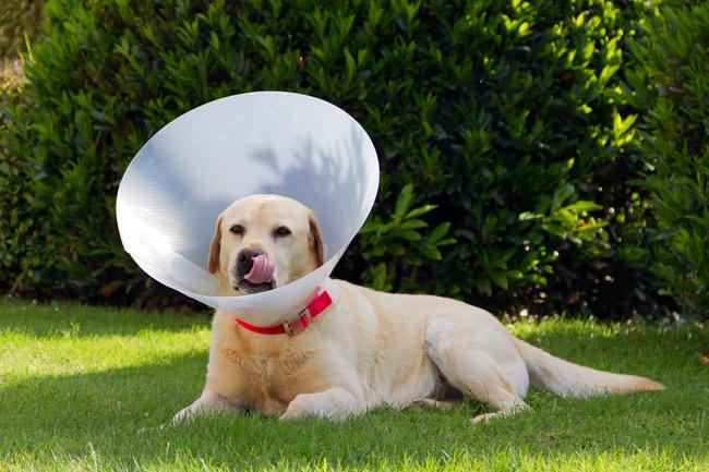 Kołnierz pooperacyjny dla psa