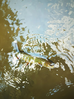 Swift river brook trout parachute adams