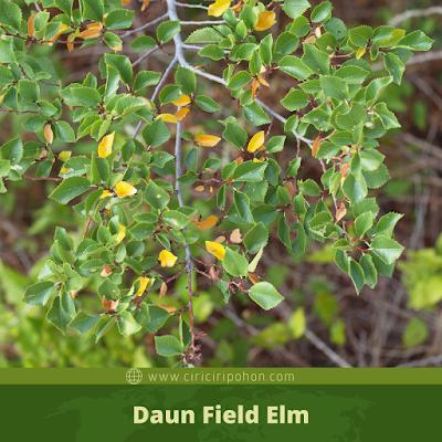 Ciri Ciri Daun Field Elm