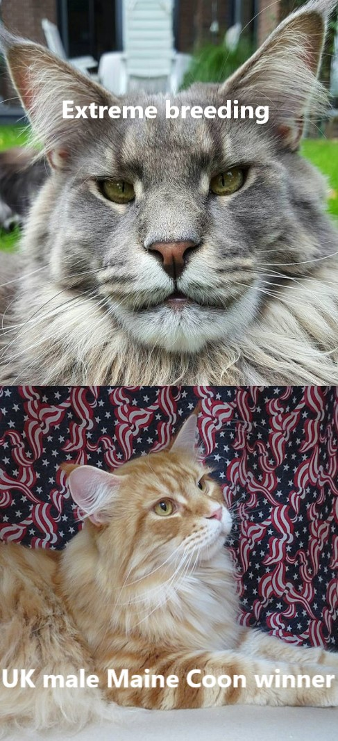 Comparison of extreme bred Maine Coon and UK version