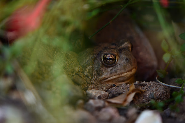 Toad, Arizona garden