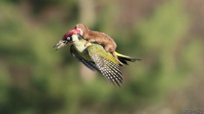 foto de una comadreja bebé montada en un pájaro carpintero en vuelo.