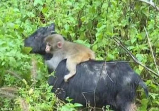 Baby Monkey Breakss Into A Goat Farm And Picks Its New Mother 1