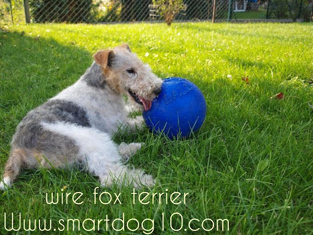 wire haired terrier breeds