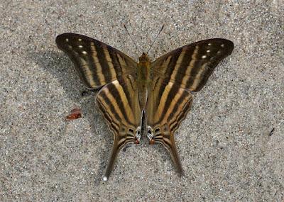 Mariposa chirona (Marpesia chiron)
