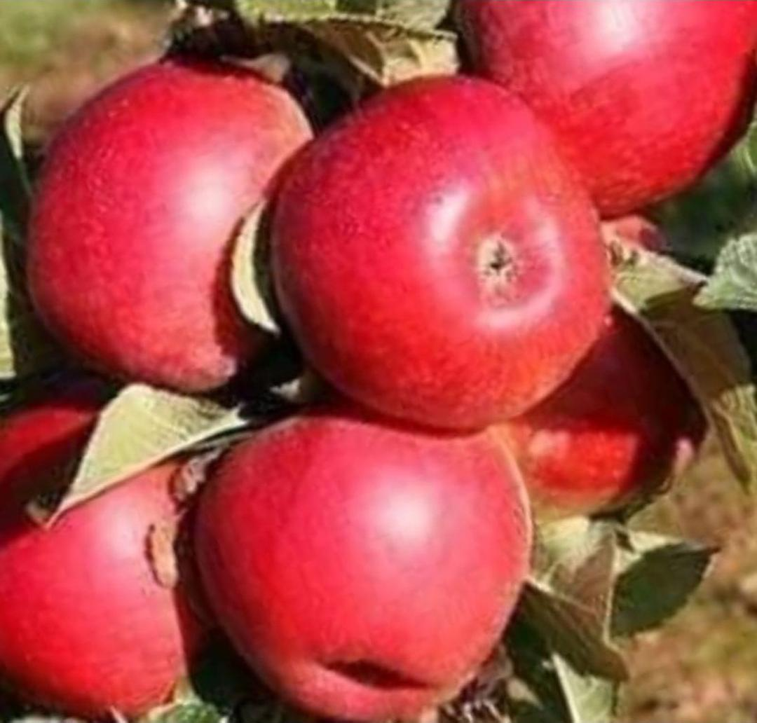 Ready! bibit buah apel ana Kota Kediri #bibit buah