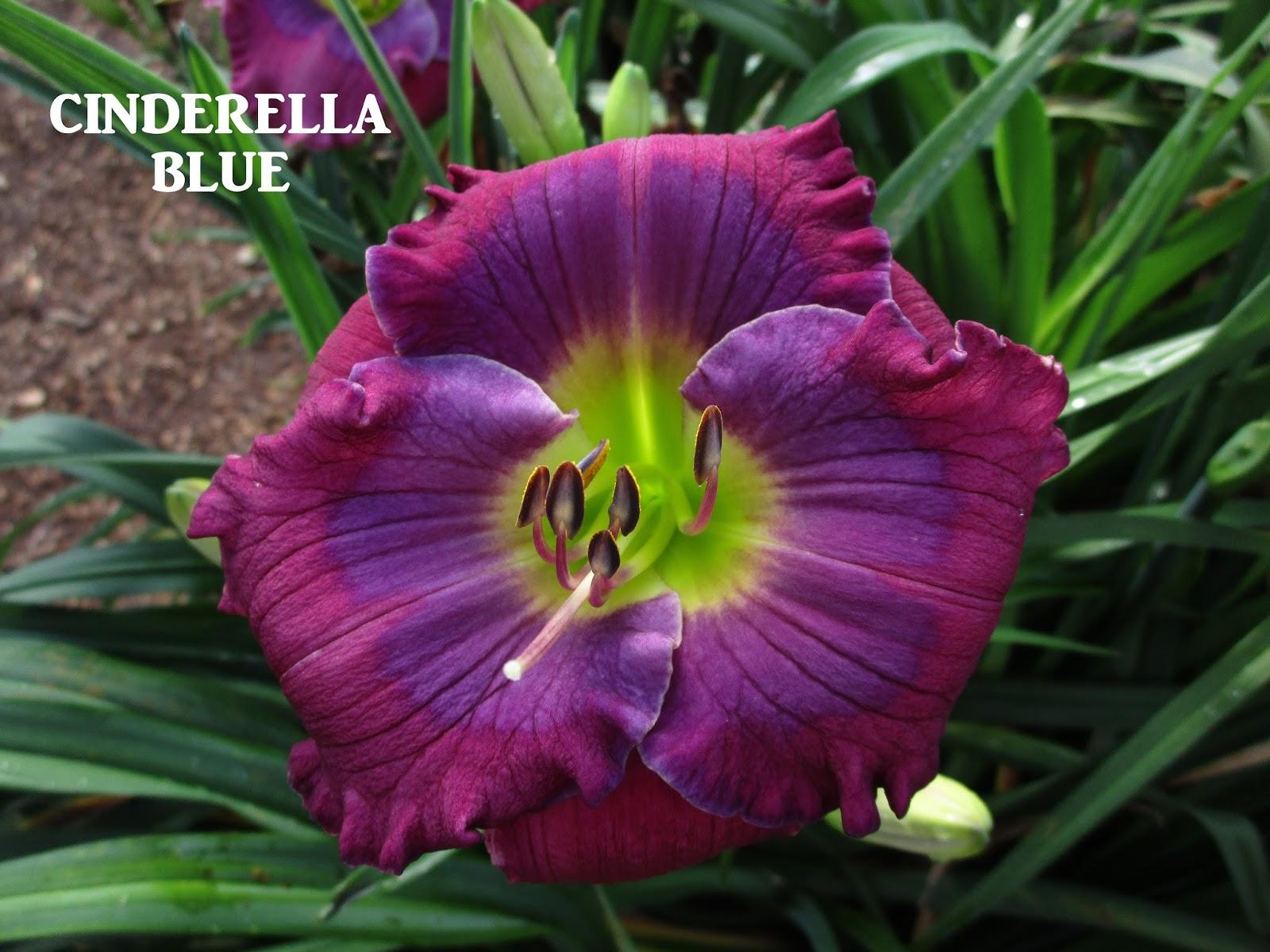 Bills daylily corner 2017 introductions lavender blue baby x tet crystal blue persuasion x blue beat seedling 3 355 sev tet em 28 tall 4 way branching 17 buds 575 flower izmirmasajfo