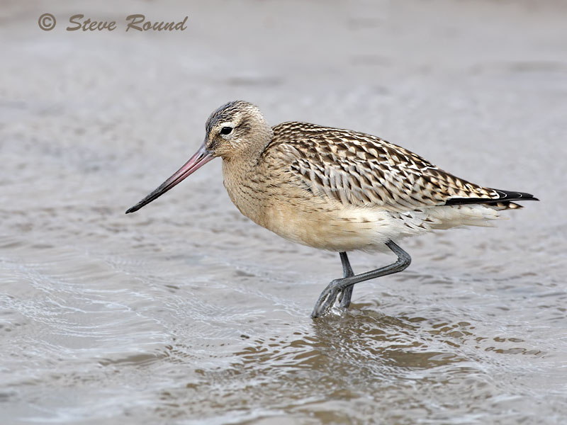 Bar-tailed Godwit, birds, wader