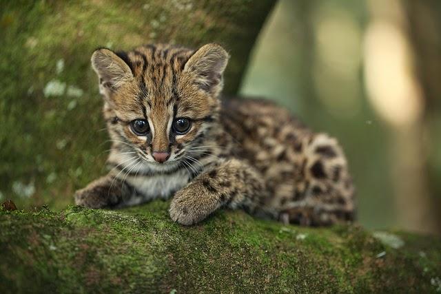 Filhote de gato-do-mato, gato do mato, leopardus-trigrinus, Tigrillo, gato selvagem, fotos de gatos selvagens, animais, animais em extinção, fotos de animais em extinção, natureza, conservação, Paraíba, animais ameaçados de extinção na Paraíba