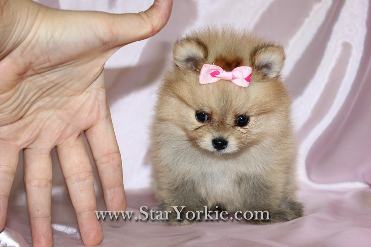 Teacup Pomeranian Puppies For Sale In Los Angeles Teacup Pomeranian