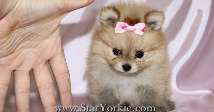 pomeranian los angeles teacup pomeranian puppies for sale in los angeles teacup 9789