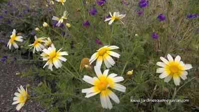 Chrysanthemum coronarium y Echium vulgare