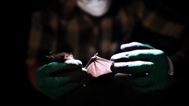 Andrew Bennett holds a cyclops leaf-nosed bat