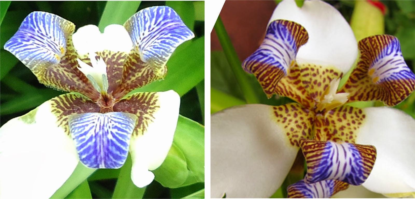 Las flores son de muy corta duración pero como la floración es prolongada siempre habrá flores en la planta a pesar de que éstas se marchitan rápidamente.