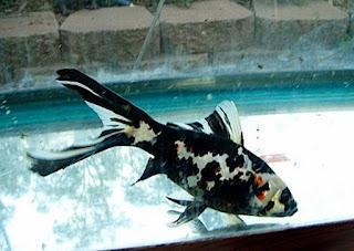 Jenis Ikan Mas Komet Tercantik Beserta Gambar dan Harganya Terbaru