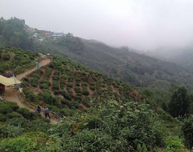Tea Garden in Lebong Darjeeling