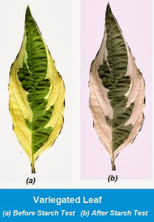 Variegated Leaf Starch Test | Chapter-6 Life  Processes | CBSE Class 10 Scienc
