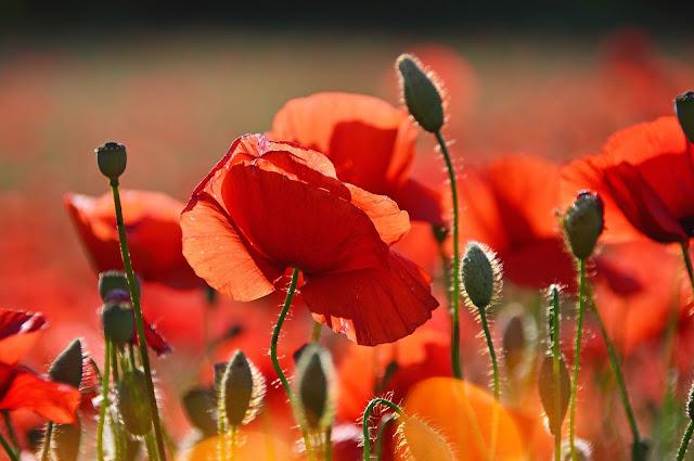 Orange poppy flower image