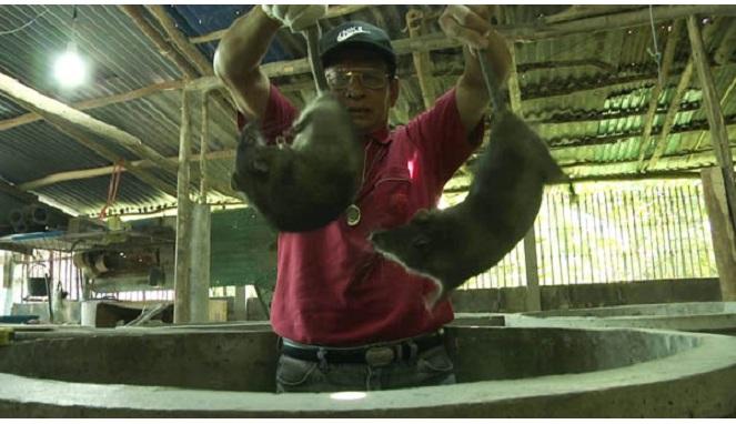 Hasil Menggiurkan Bisnis Tikus Besar untuk Konsumsi