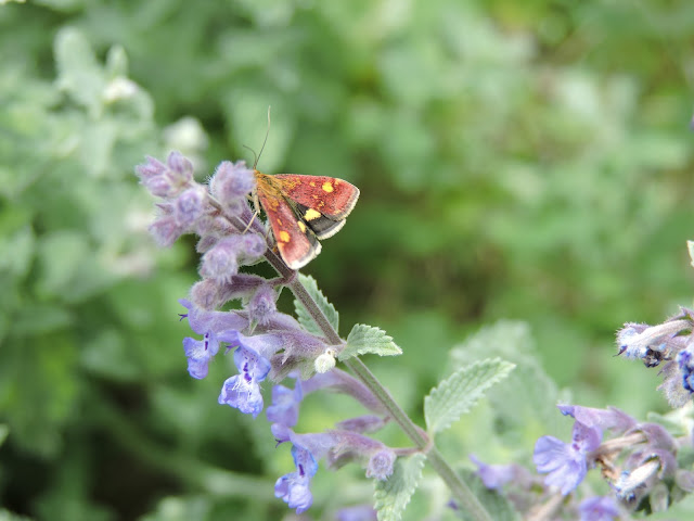 A mint moth on catmint (Nepeta)