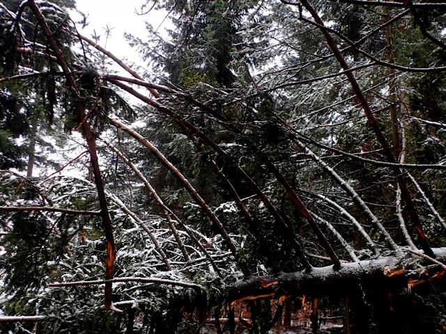 Zwalone drzewo zagradza szlak