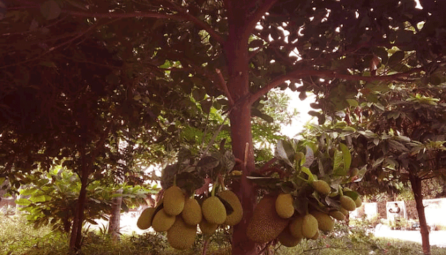 Pohon aneh