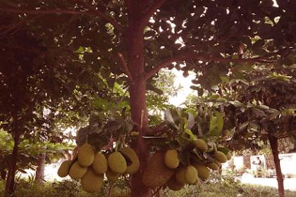 Aneh, Berikut Misteri dan Mitos Pohon Nangka