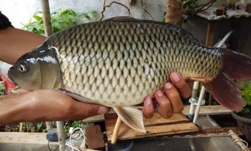 Ciri Ciri Ikan Tombro