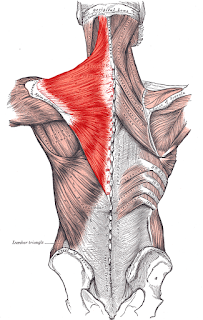 trapezius muscle, anatomy, muscle picture