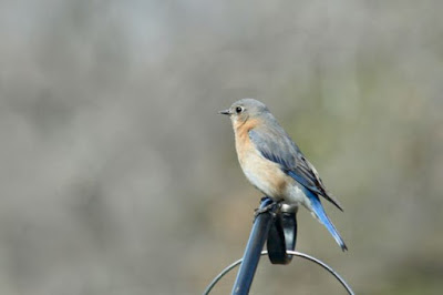 a female bluebird brings poetry to the back fields