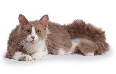 Jenis Ras Kucing Laperm
