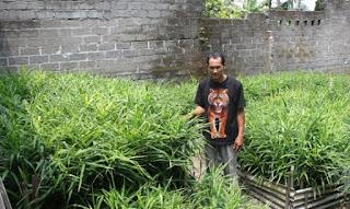 cara menanam jahe dalam karung,cara perawatan tanaman jahe,budidaya jahe merah pdf,budidaya jahe merah dalam karung,media tanam dan perawatan jahe,