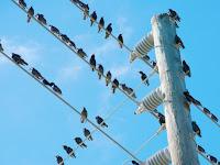 Ini Alasan Kenapa Burung Tidak Kesetrum Saat Bertengger di Kabel Listrik Bertegangan