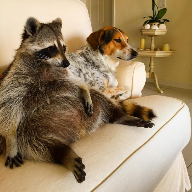 saved this raccoon lives with dogs and considers himself one of them