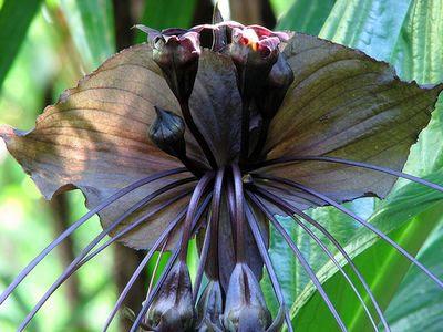 Çinli Siyah Yarasa Çiçeği