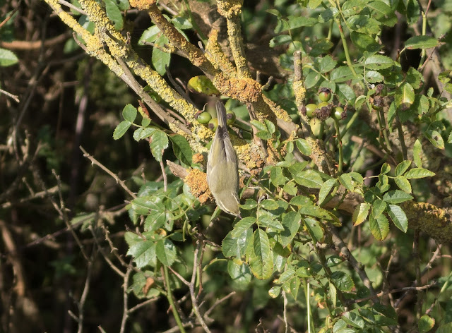 Greenish Warbler - Saltburn, Cleveland