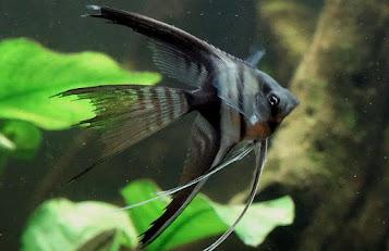 Jenis ikan Manfish Half Black Angelfish