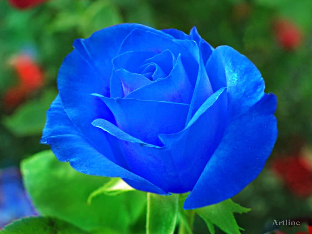 Blue Rose With Green Leaf HD Wallpaper ~ Artline : Feel ...