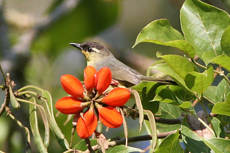 64 Foto Gambar Burung Opior Jantan Dan Betina HD Paling Keren Gratis
