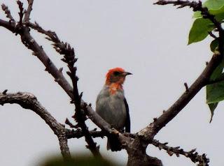 Burung Kemade Atau Cabai Jawa, cabe-cabean, kemade, prenjak ceri, tongcit,ceri-ceri dan emprit endas abang