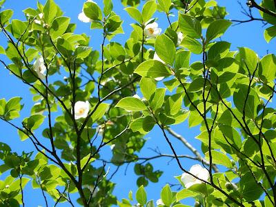 明月院沙羅双樹