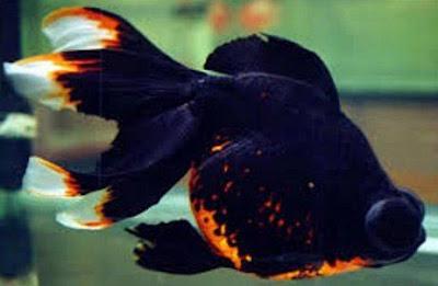 Gambar Ikan Mas Koki Telescope Eye
