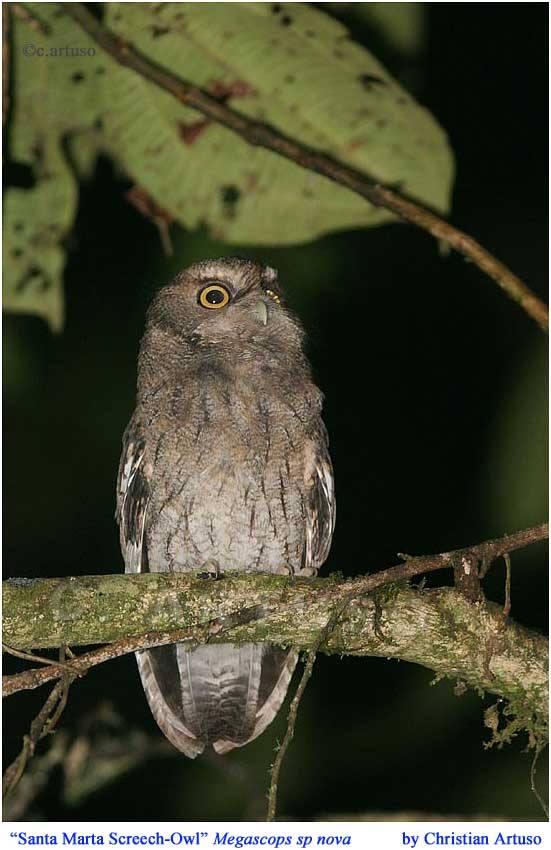 Christian Artuso: Birds, Wildlife: Santa Marta Screech-Owl ... - photo#8