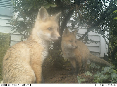 Baby Foxes - Finally!