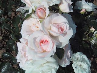 rose aspirine rose